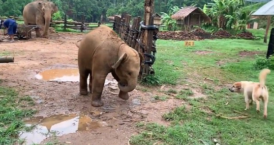 baby elephant trips while playing with dogs
