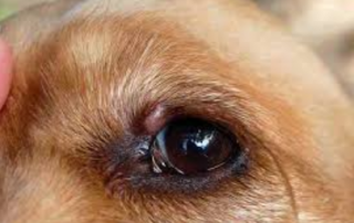 growth on dog eye